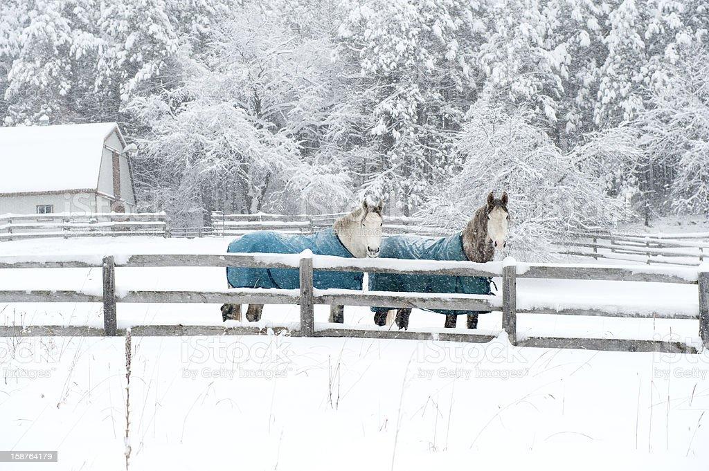 Pferde bei Schneesturm – Foto