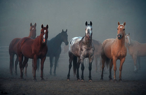 Horses, Ears Pointing Forward, Animal, Equestrian, Morning, Foggy, Outdoors  appaloosa stock pictures, royalty-free photos & images