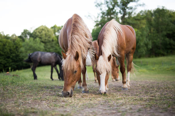 Horses eat grain on a ranch in nature Horses eat grain on a ranch in nature paddock stock pictures, royalty-free photos & images