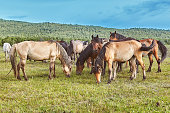 A herd of brown horses quietly grazing in a summer meadow.