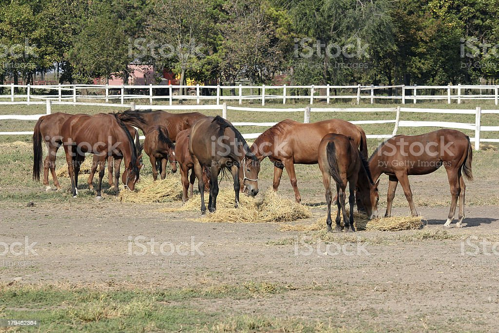 horses eat hay on ranch royalty-free stock photo