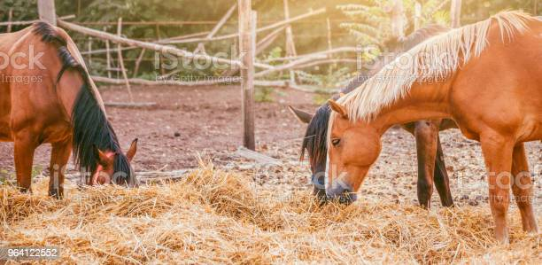 Photo of Horses eating a hay at ranch summertime.