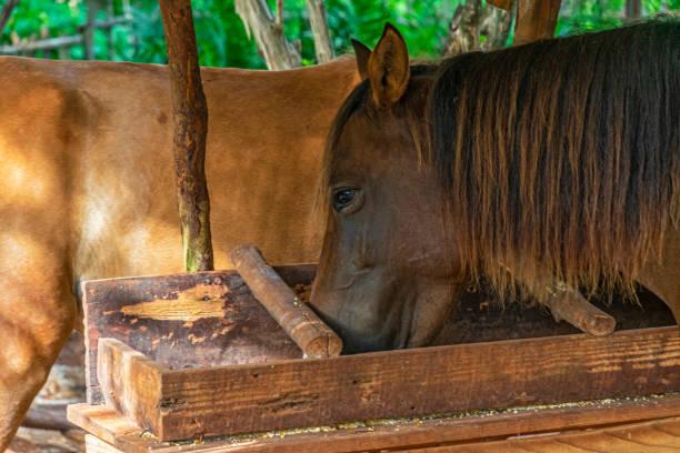 Horses eating corn stock photo