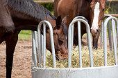 brown Holsteiner horses standing on a hay rack and eat hay