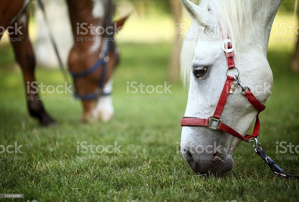 Horses eating grass,closeup stock photo