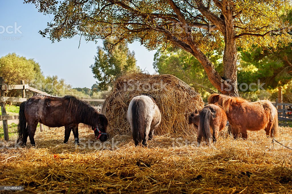 Horses eating hay together stock photo