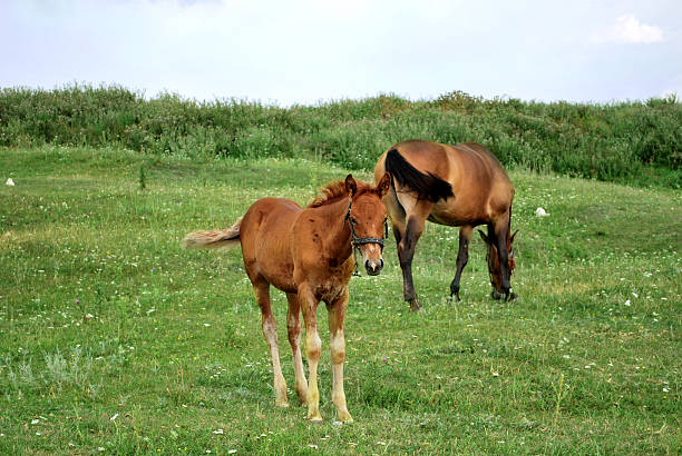 horses eating in the field stock photo