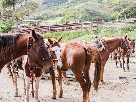 Horses For Horseback Riding At Kualoa Ranch In Kaneohe