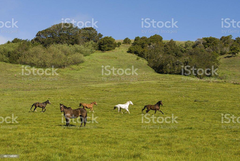 Horses Frolicking in Spring pasture near Bodega Bay California stock photo