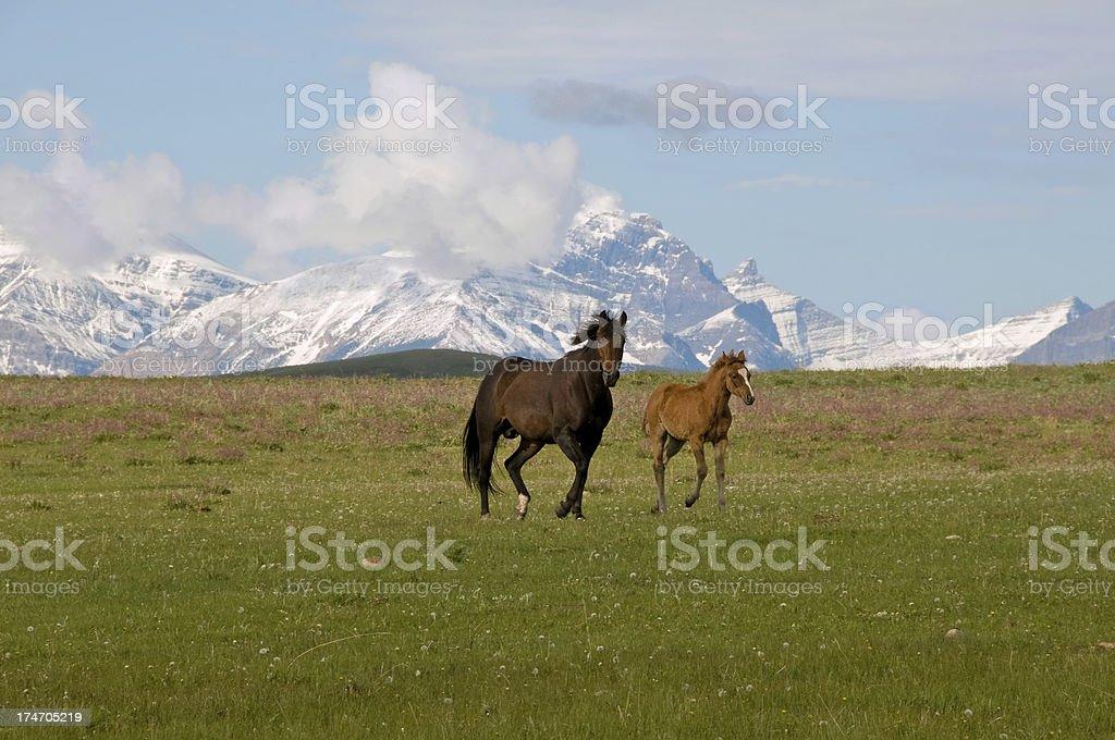 Horses gallop across mountain meadow stock photo