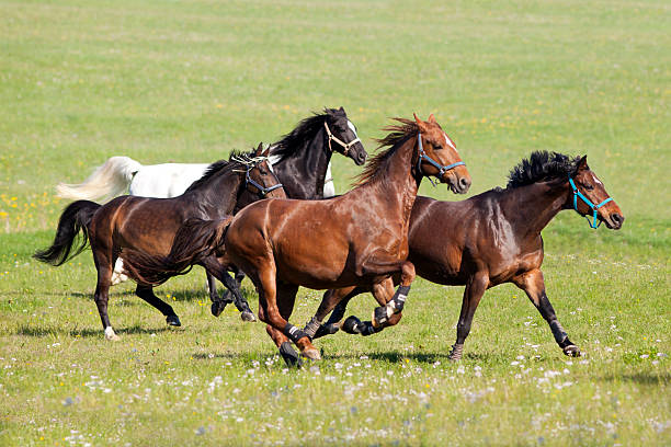 Horses gallop free outside on meadow stock photo