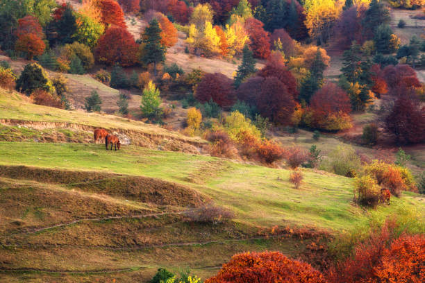 Horses graze in a meadow. Against the background of autumn trees. Bright colors, golden autumn. Rhodope mountains, Bulgaria. stock photo