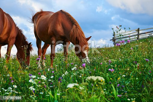 istock Horses graze in a meadow in the mountains, sunset in carpathian mountains - beautiful summer landscape, bright cloudy sky and sunlight, wildflowers 1207997694