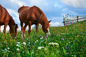 Horses graze in a meadow in the mountains, sunset in carpathian mountains - beautiful summer landscape, bright cloudy sky and sunlight, wildflowers
