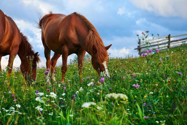Los caballos pastan en un prado en las montañas, puesta de sol en las montañas de los cárpatos - hermoso paisaje de verano, cielo nublado brillante y la luz del sol, flores silvestres - foto de stock