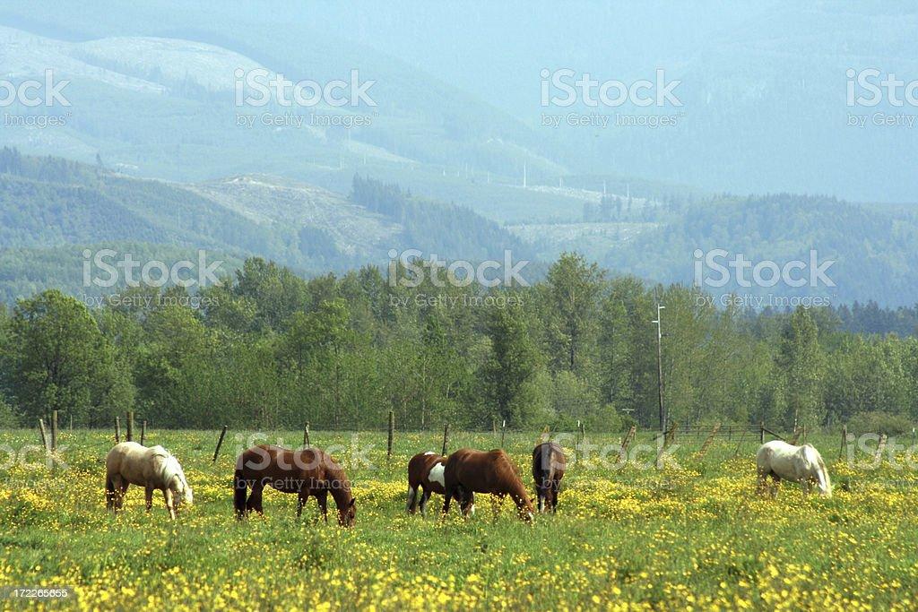 Horses graze in buttercup field near cascade foothills stock photo