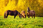 Horses graze in green grass against a background of yellow autumn trees. Autumn landscape