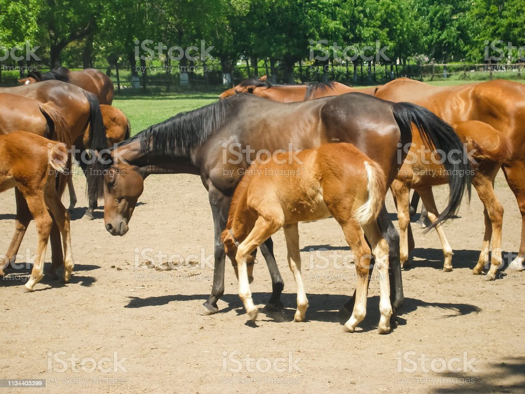Horses graze in the meadow behind the fence stock photo