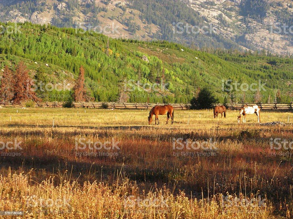 Horses Grazing Grand Teton Mountains Pasture royalty-free stock photo