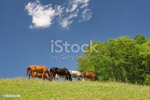 Horses grazing a high hillside on green grass under blue skies on a sunny summer day.