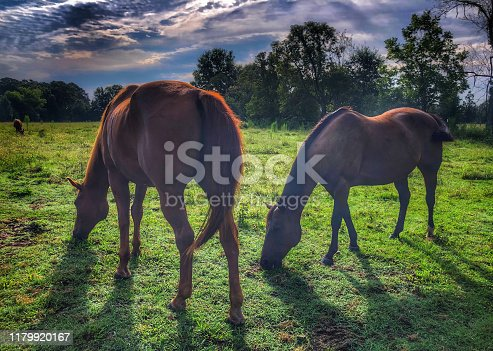 istock Horses Grazing in a Field 1179920167