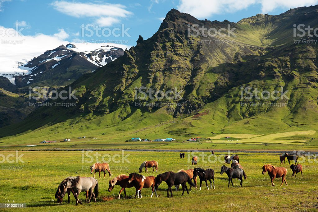 Horses grazing in an Icelandic pasture in the mountains royalty-free stock photo