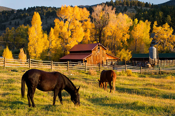 Horses grazing in front of barn. stock photo