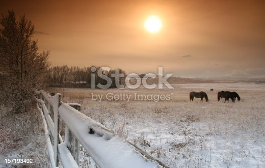 Horses grazing in a snow covered pasture in winter with sun setting behind. Beautiful fresh snowfall. Alberta scenic or landscape image. Location near Calgary, Alberta. Rocky Mountains are in distance. Foggy or hazy sky and warming filter to provide a warm touch on the scene. Image taken with Canon 5D Mark II body and L series lens. Five horses are in the image.