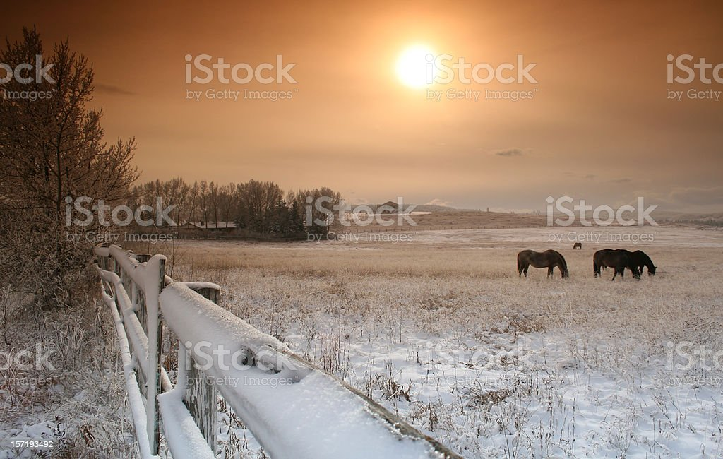Horses Grazing in Pasture in Winter stock photo