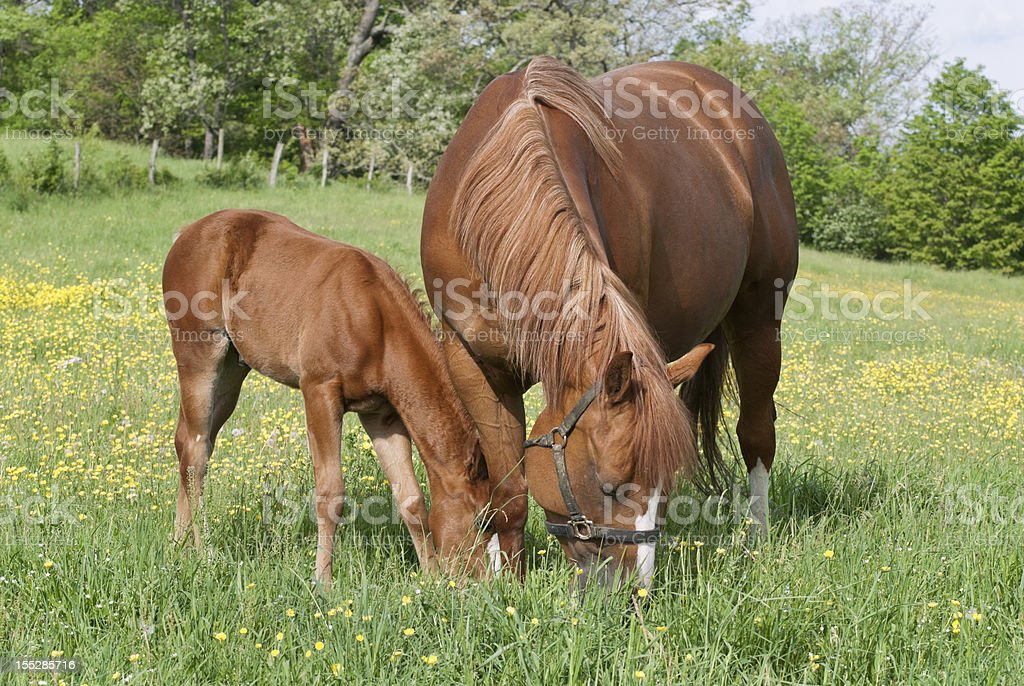 Horses Grazing in Spring Field, Sorrel Mare and Foal stock photo