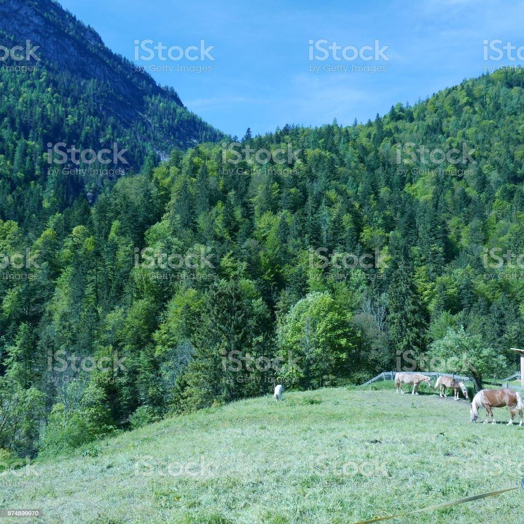 Horses grazing in the Alps stock photo