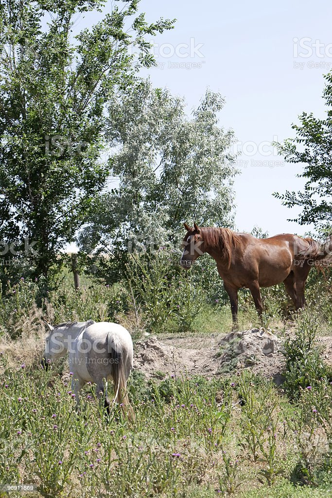 Horses grazing in the field royalty-free stock photo