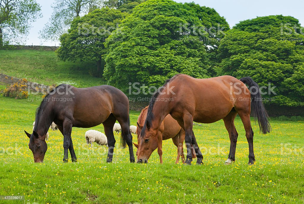 Horses grazing is green pasture. stock photo