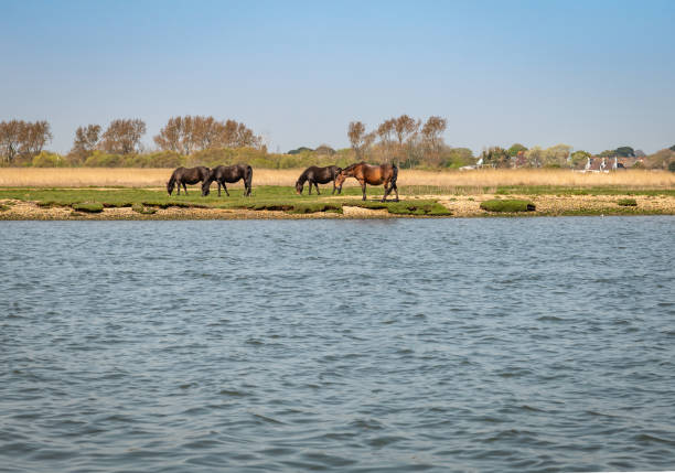 Horses grazing near water at Stanpit Marsh in Dorset stock photo