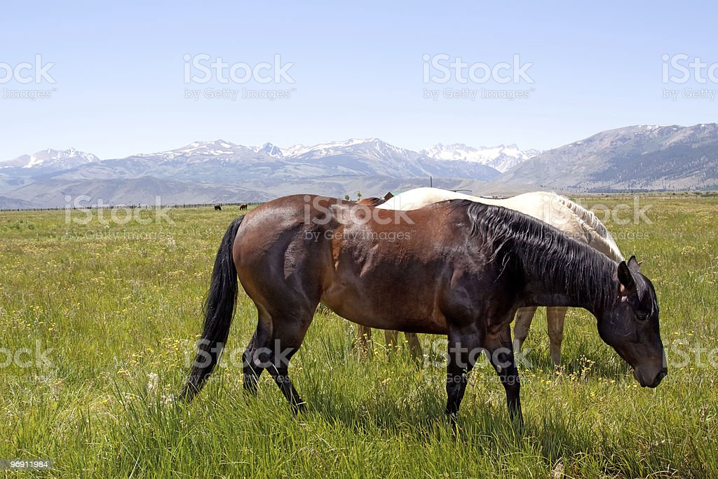 Horses grazing on green grass royalty-free stock photo