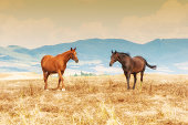 istock Horses grazing on the fields of Tuscan, Italy 510355295
