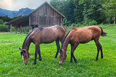 Horses grazing on the meadow in summer.