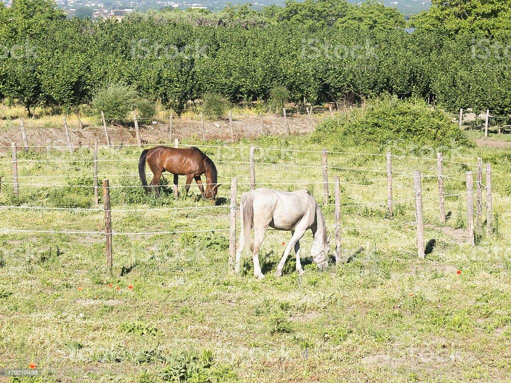 Horses grazing royalty-free stock photo