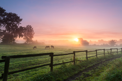 Three horses grazing the grass on a foggy morning.