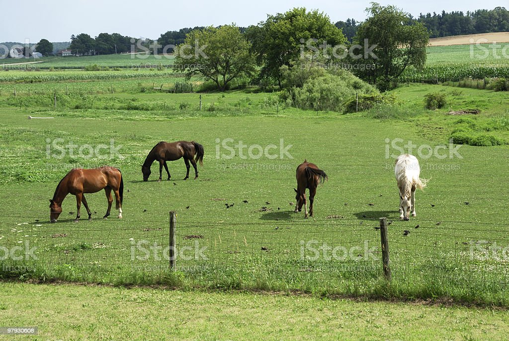 Horses Grazing with Birds royalty-free stock photo