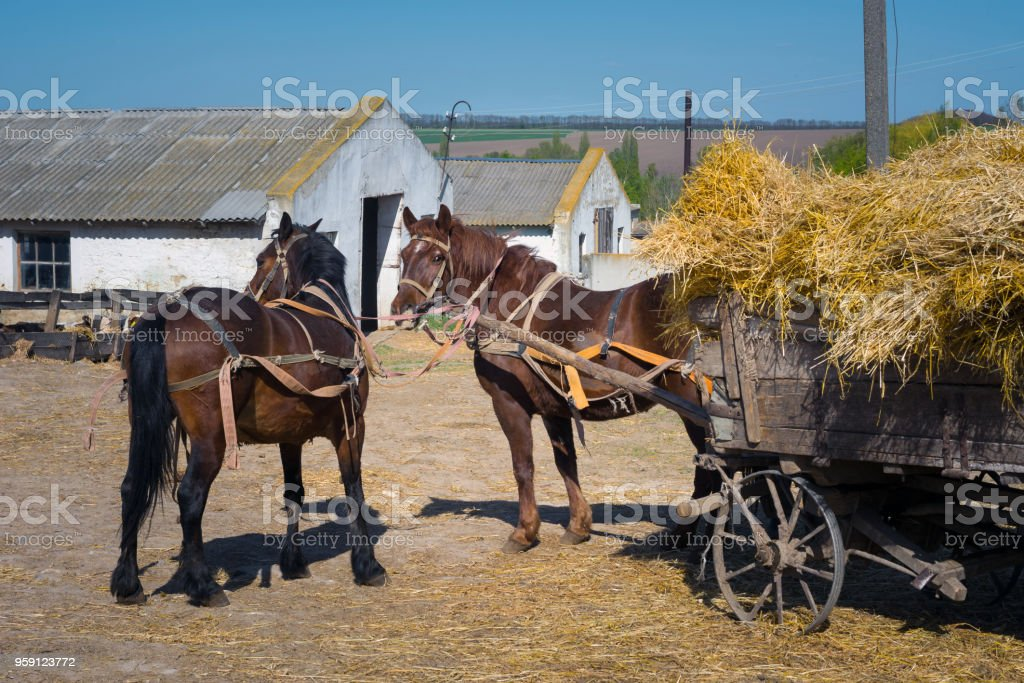 horses harnessed to a cart brought hay to a farm for feeding large cattle stock photo