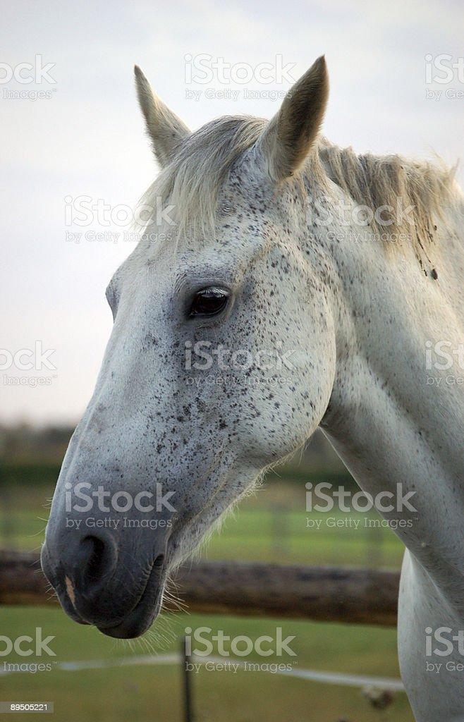 Horses head royalty-free stock photo