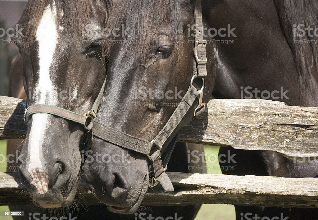 Horses heades royalty-free stock photo