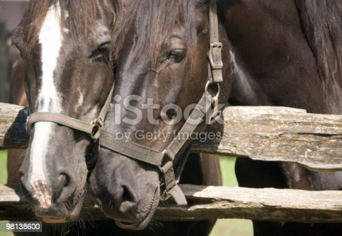 Horses Heades Stock Photo & More Pictures of Animal