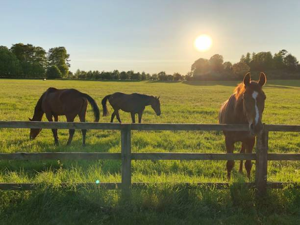 Horses in a field as the sun shines in the background stock photo