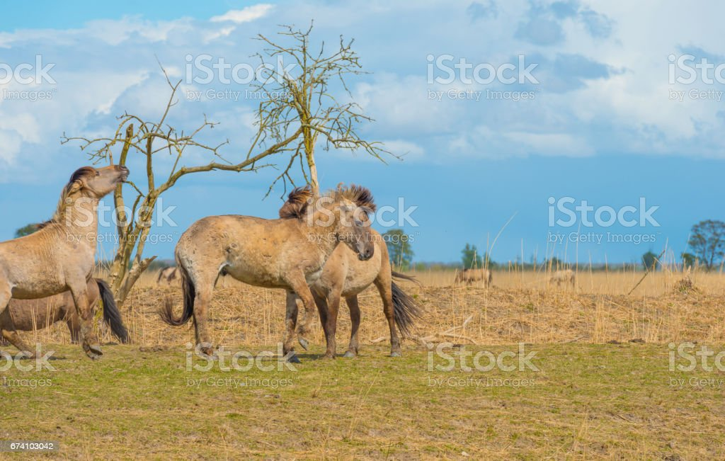 Horses in a field in wetland in spring royalty-free stock photo