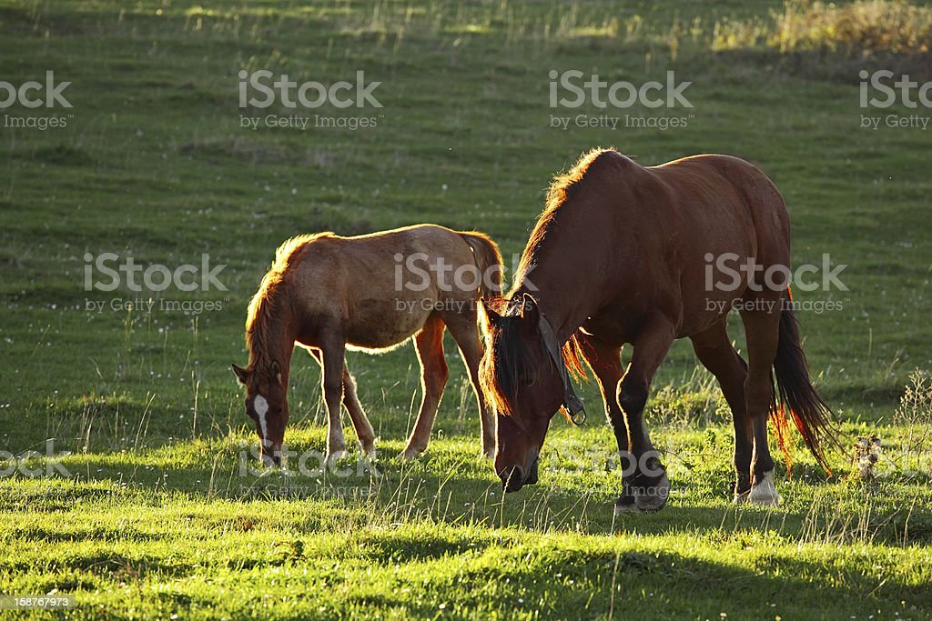 Horses in a field royalty-free stock photo