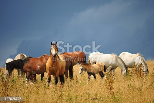Beautiful horses and a foal grazing in a field with a moody sky