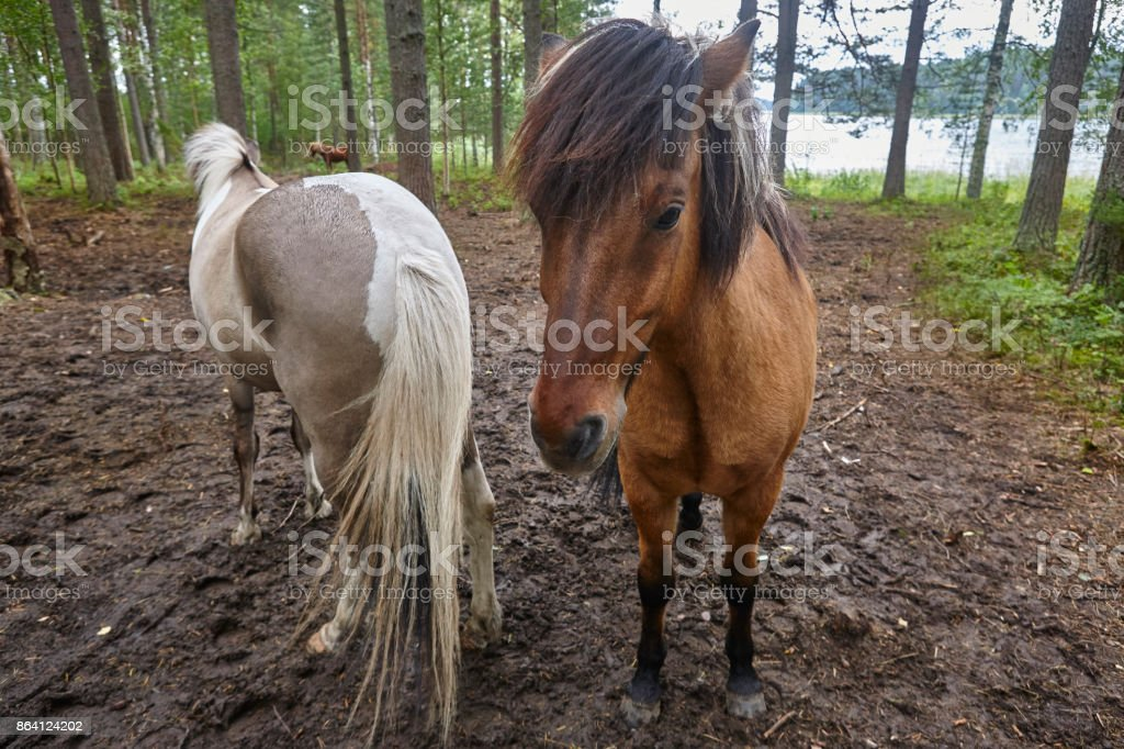 Horses in a Finland forest landscape. Animal background. royalty-free stock photo