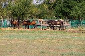 Horses in a paddock on farmyard